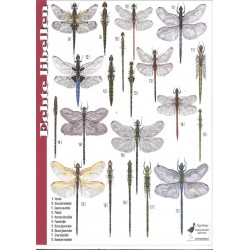 Herkenningskaart Echte Libellen