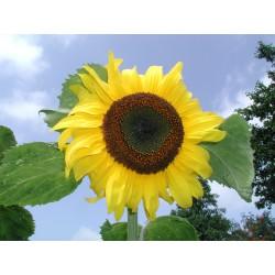 Zonnebloem geel 1 m2