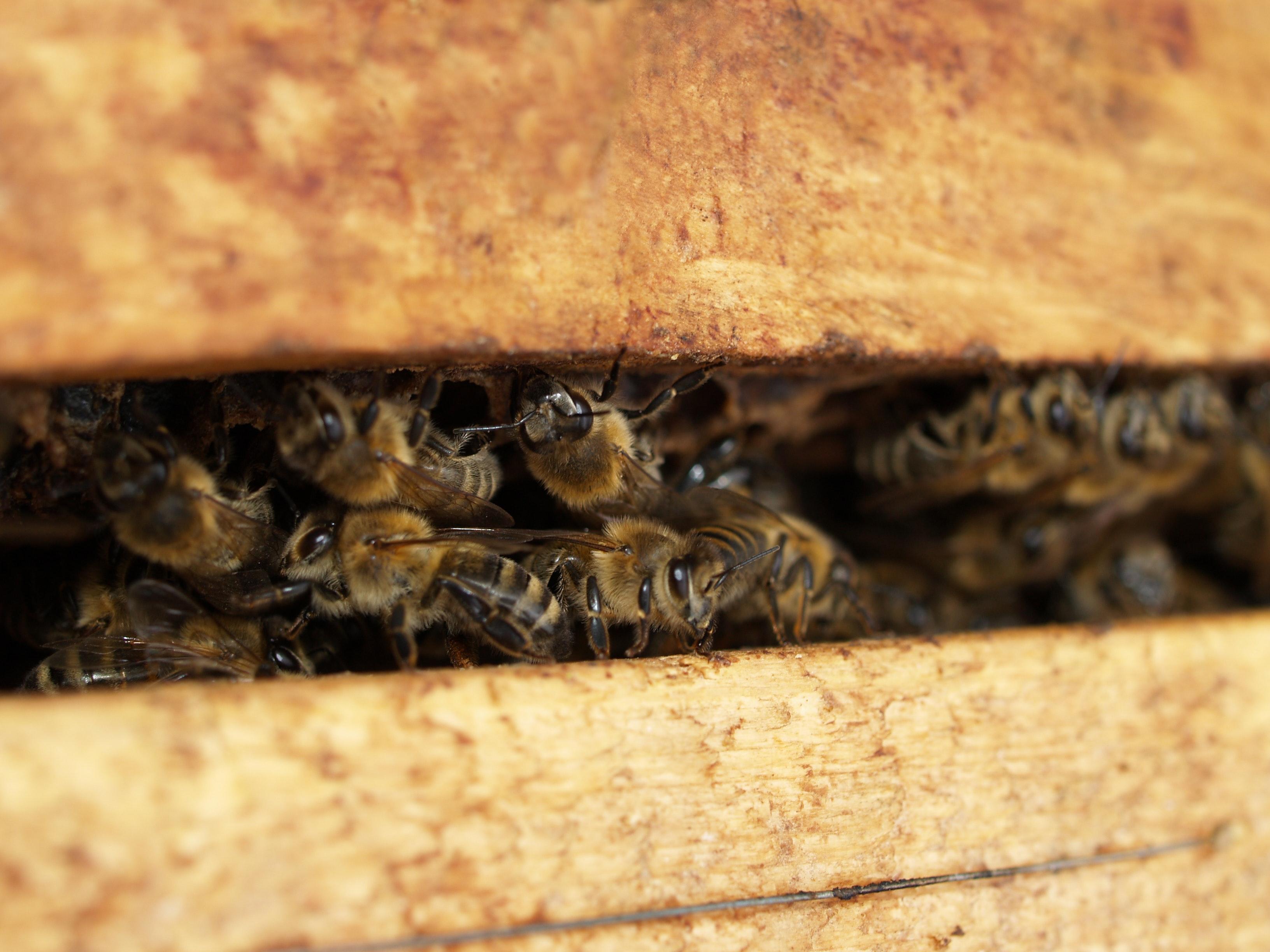 Bijen in kast